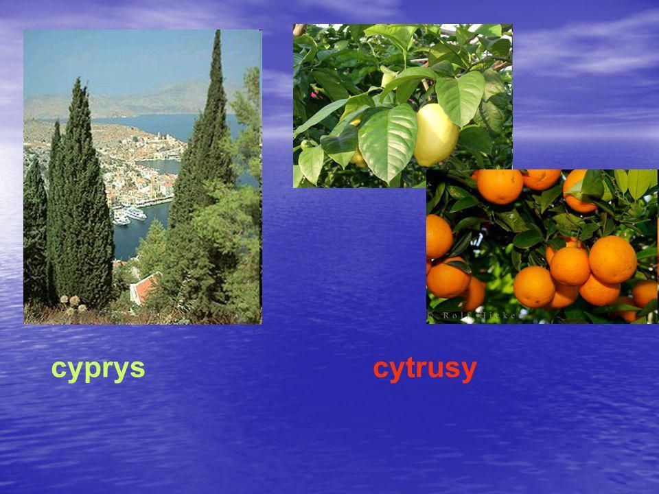cyprys cytrusy