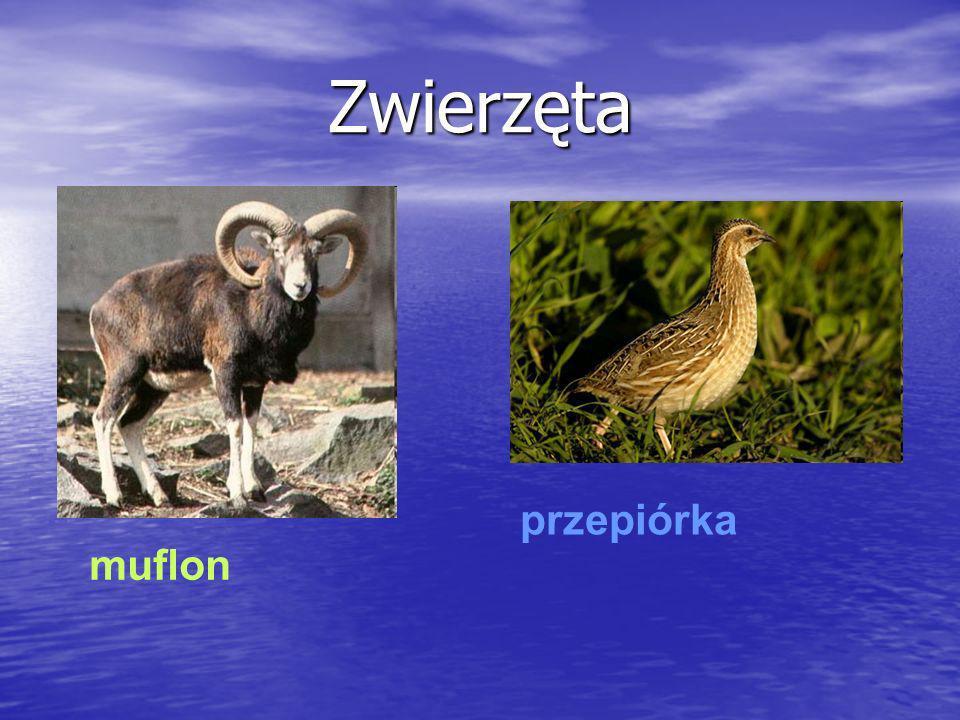 Zwierzęta przepiórka muflon