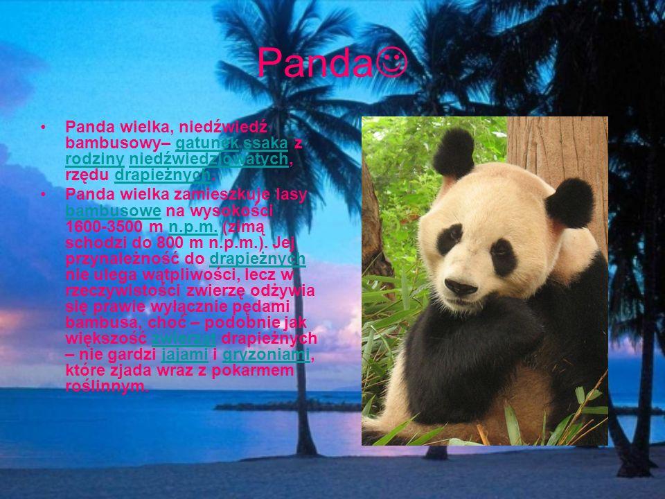 Panda Panda wielka, niedźwiedź bambusowy– gatunek ssaka z rodziny niedźwiedziowatych, rzędu drapieżnych.
