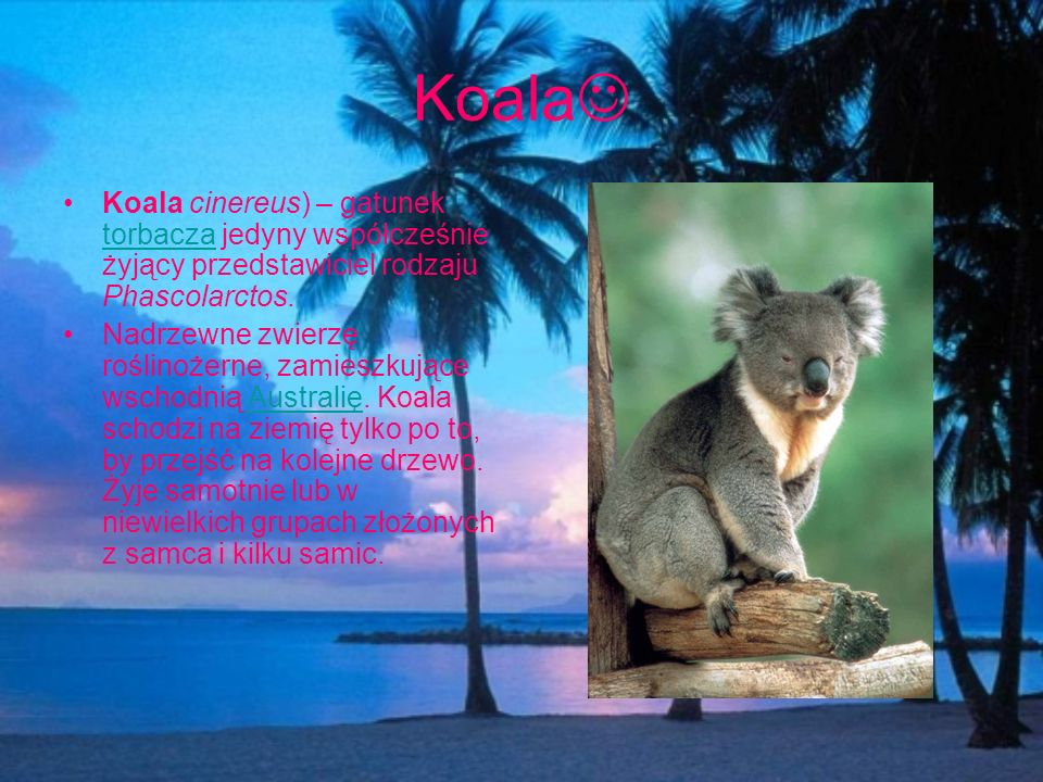 Koala Koala cinereus) – gatunek torbacza jedyny współcześnie żyjący przedstawiciel rodzaju Phascolarctos.