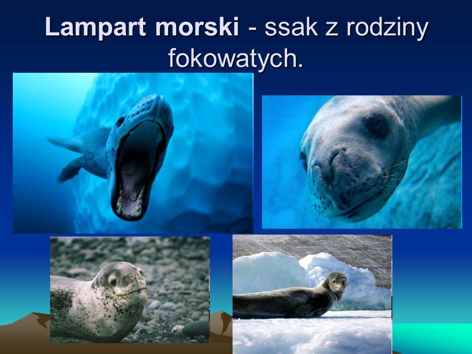 Lampart morski - ssak z rodziny fokowatych.