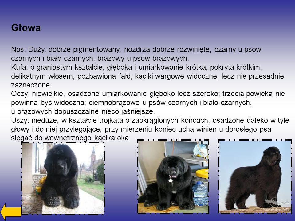 Głowa Nos: Duży, dobrze pigmentowany, nozdrza dobrze rozwinięte; czarny u psów czarnych i biało czarnych, brązowy u psów brązowych.