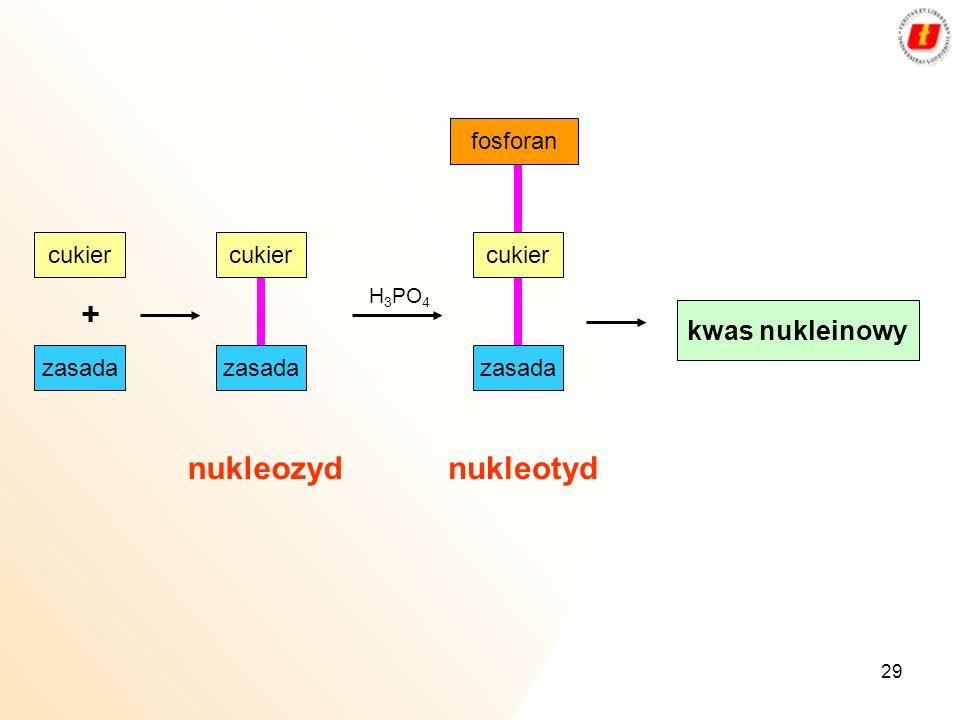 + nukleozyd nukleotyd kwas nukleinowy fosforan cukier cukier cukier