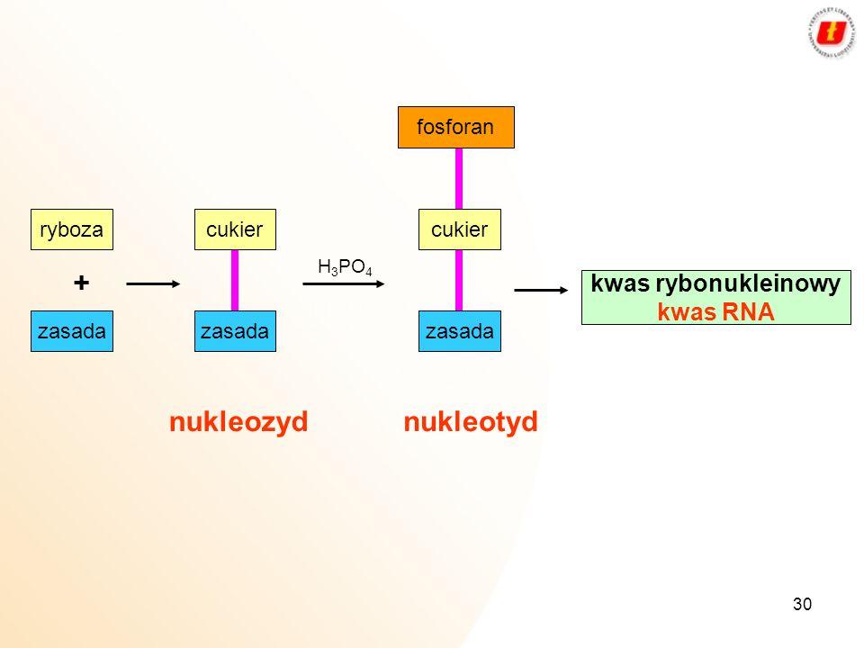 + nukleozyd nukleotyd kwas rybonukleinowy kwas RNA fosforan ryboza
