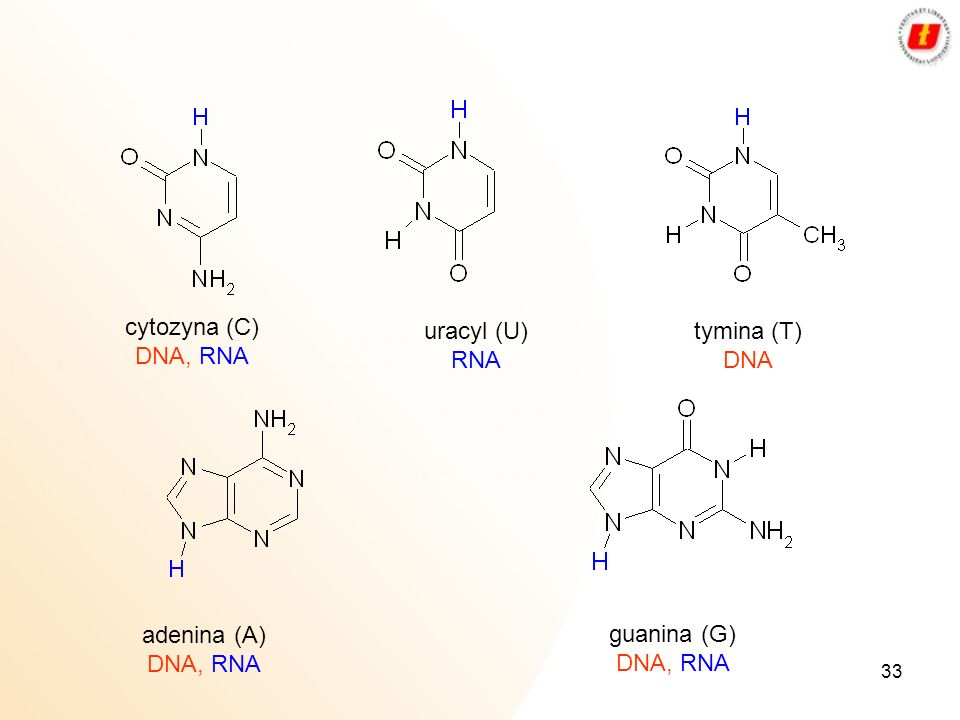 cytozyna (C) DNA, RNA uracyl (U) RNA tymina (T) DNA adenina (A) DNA, RNA guanina (G) DNA, RNA