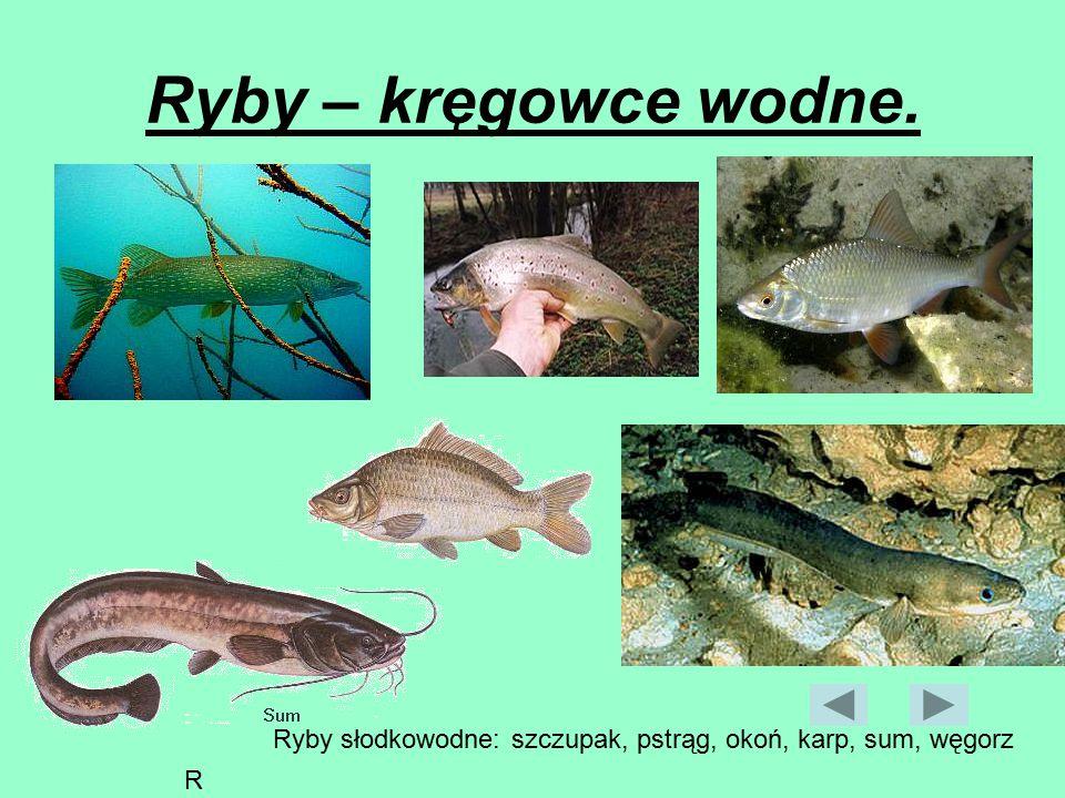 Ryby – kręgowce wodne. szczupak