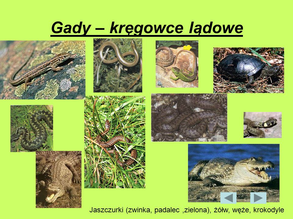 Gady – kręgowce lądowe Jaszczurki (zwinka, padalec ,zielona), żółw, węże, krokodyle