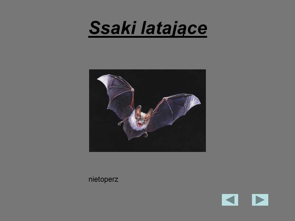 Ssaki latające nietoperz