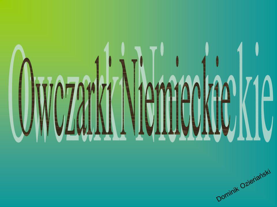 Owczarki Niemieckie Dominik Ozieriański