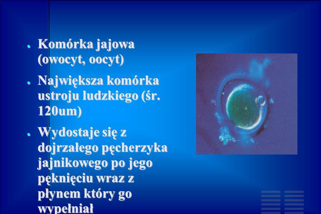 Komórka jajowa (owocyt, oocyt)
