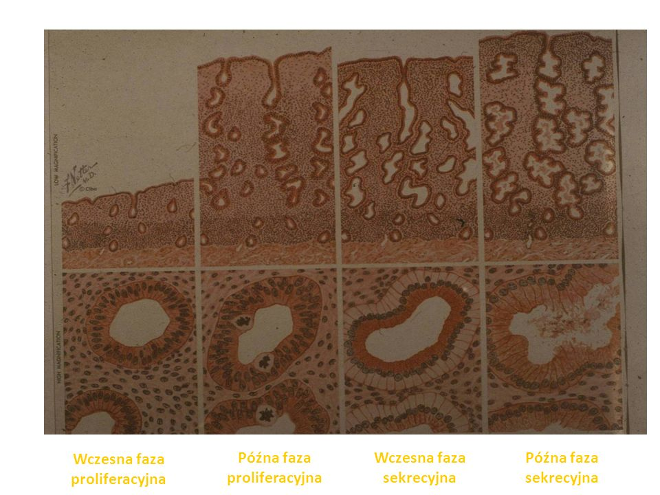 Wczesna faza proliferacyjna Późna faza proliferacyjna Wczesna faza sekrecyjna Późna faza sekrecyjna