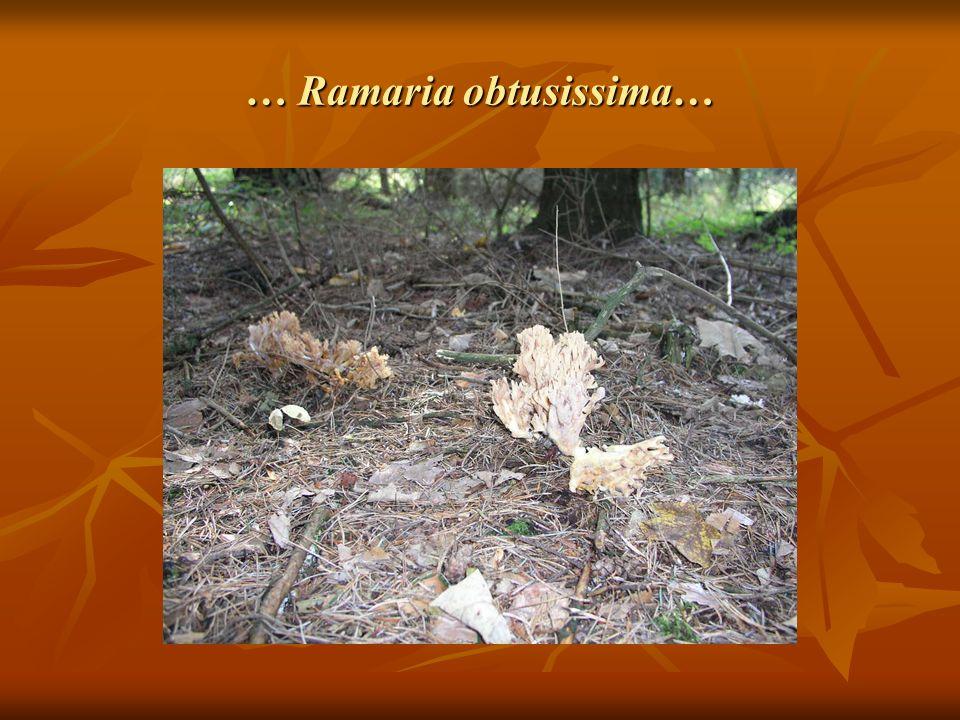 … Ramaria obtusissima…