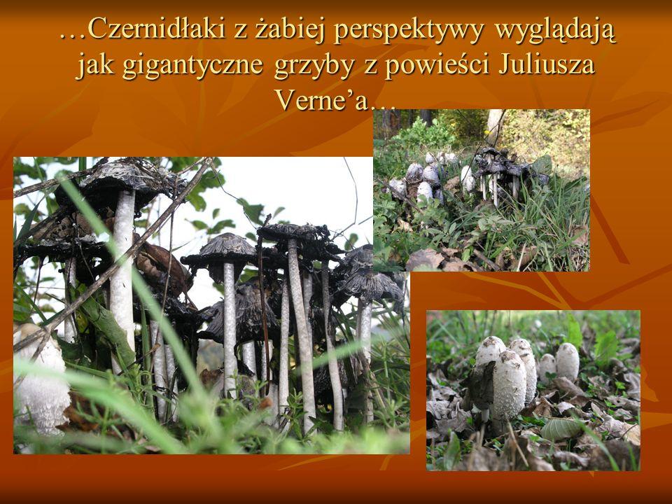 …Czernidłaki z żabiej perspektywy wyglądają jak gigantyczne grzyby z powieści Juliusza Verne'a…