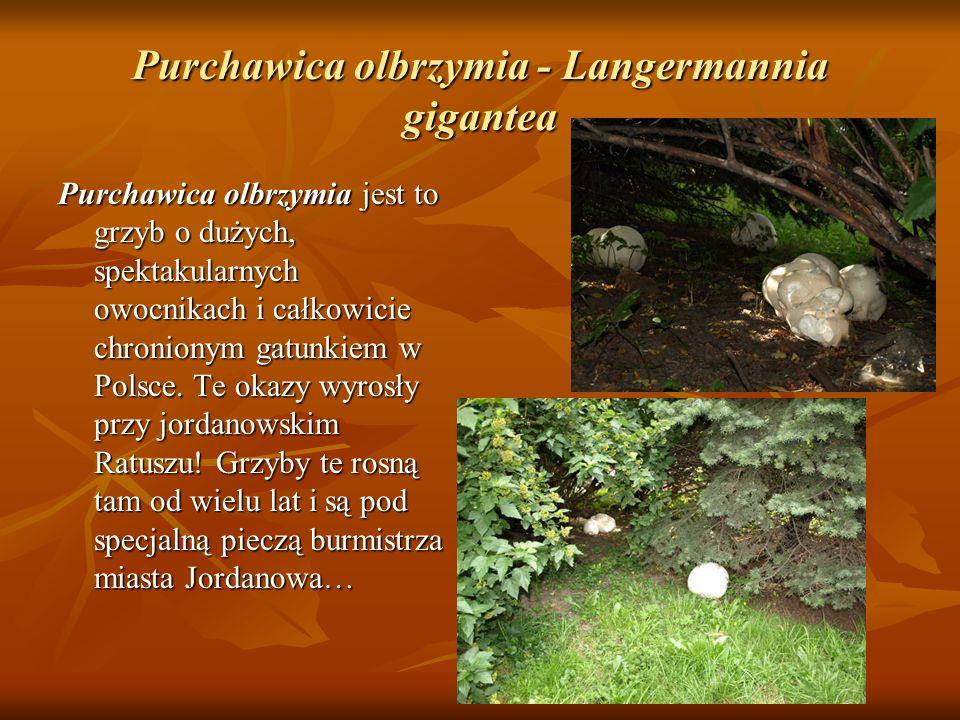 Purchawica olbrzymia - Langermannia gigantea