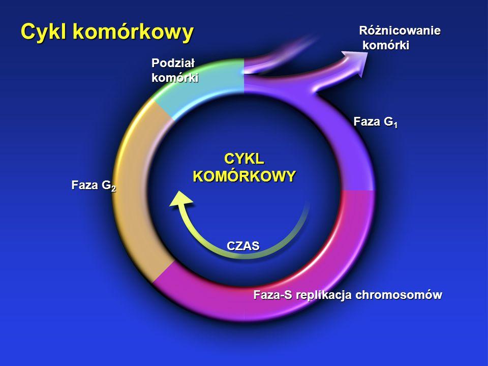 Faza-S replikacja chromosomów