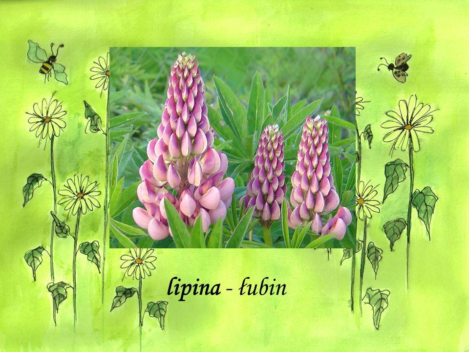 lipina - łubin