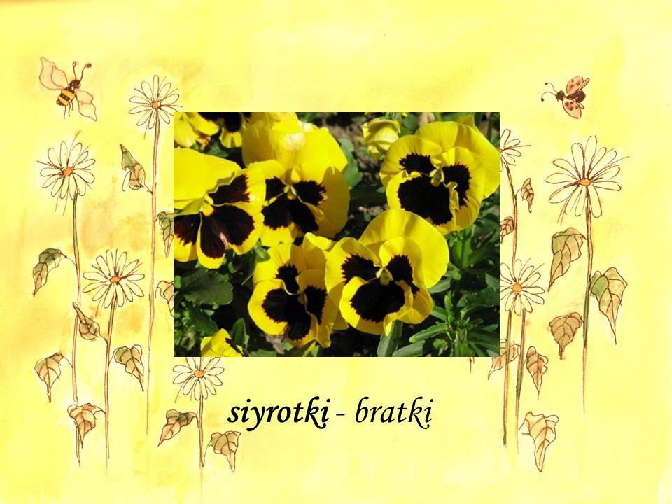 siyrotki - bratki