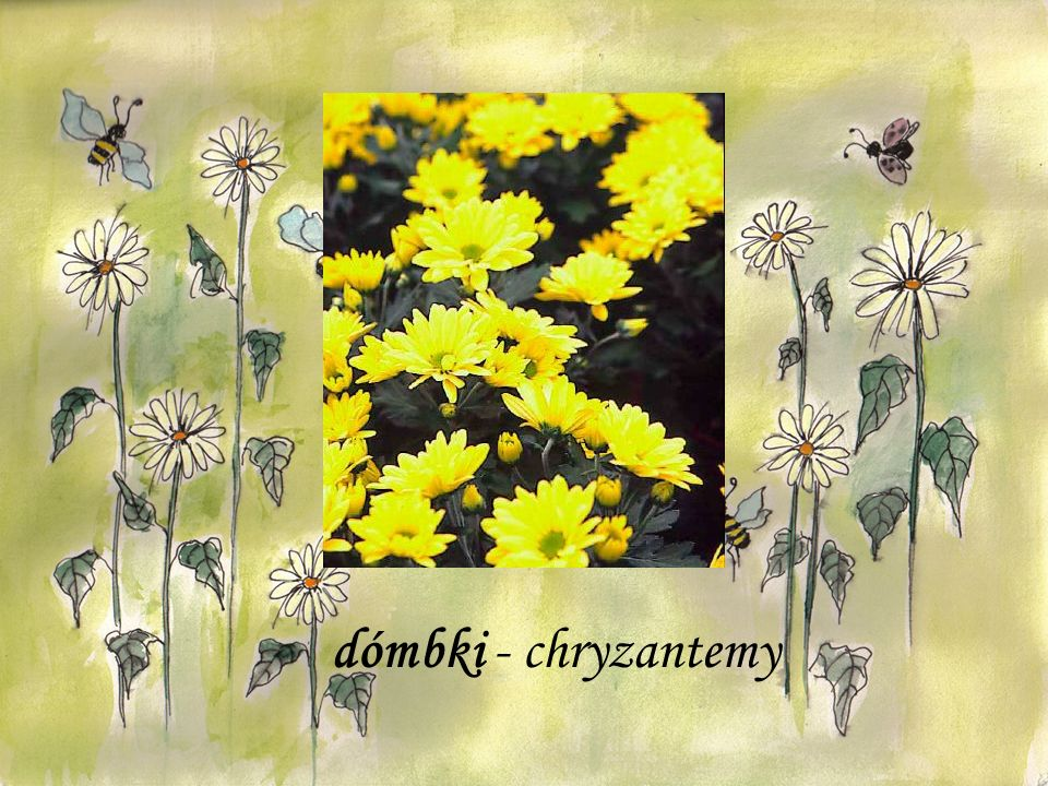 dómbki - chryzantemy