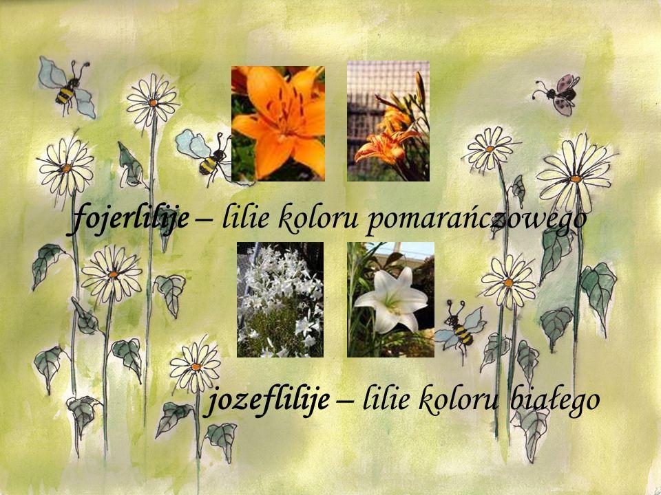 fojerlilije – lilie koloru pomarańczowego