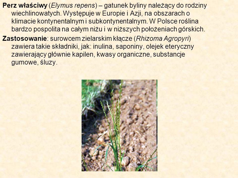 Perz właściwy (Elymus repens) – gatunek byliny należący do rodziny wiechlinowatych. Występuje w Europie i Azji, na obszarach o klimacie kontynentalnym i subkontynentalnym. W Polsce roślina bardzo pospolita na całym niżu i w niższych położeniach górskich.