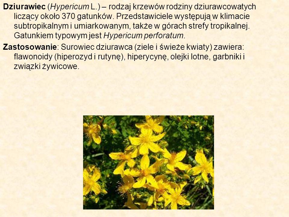 Dziurawiec (Hypericum L