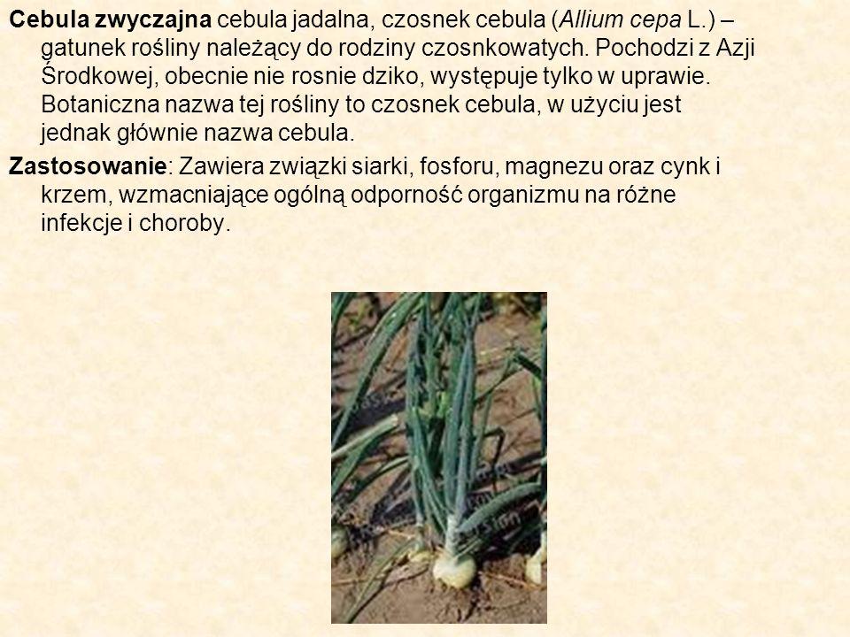 Cebula zwyczajna cebula jadalna, czosnek cebula (Allium cepa L