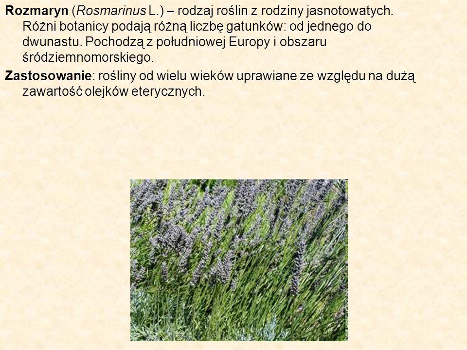 Rozmaryn (Rosmarinus L. ) – rodzaj roślin z rodziny jasnotowatych