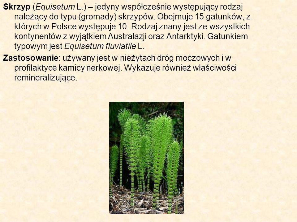 Skrzyp (Equisetum L.) – jedyny współcześnie występujący rodzaj należący do typu (gromady) skrzypów. Obejmuje 15 gatunków, z których w Polsce występuje 10. Rodzaj znany jest ze wszystkich kontynentów z wyjątkiem Australazji oraz Antarktyki. Gatunkiem typowym jest Equisetum fluviatile L.