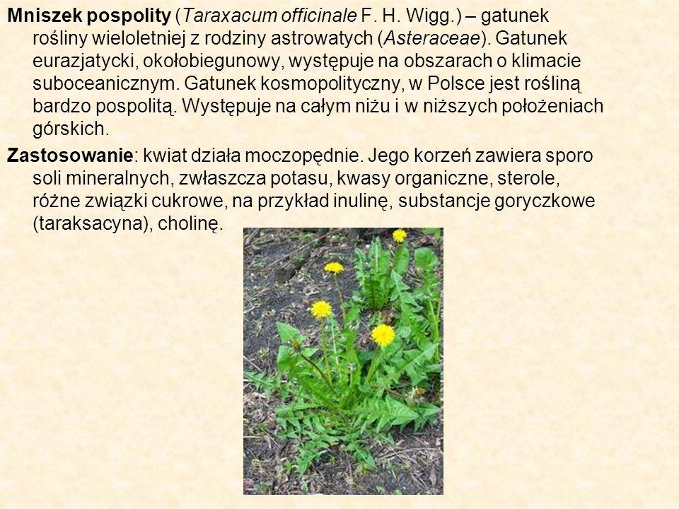 Mniszek pospolity (Taraxacum officinale F. H. Wigg