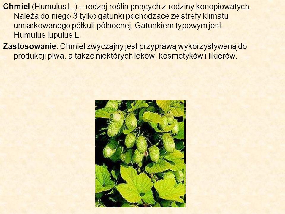 Chmiel (Humulus L. ) – rodzaj roślin pnących z rodziny konopiowatych