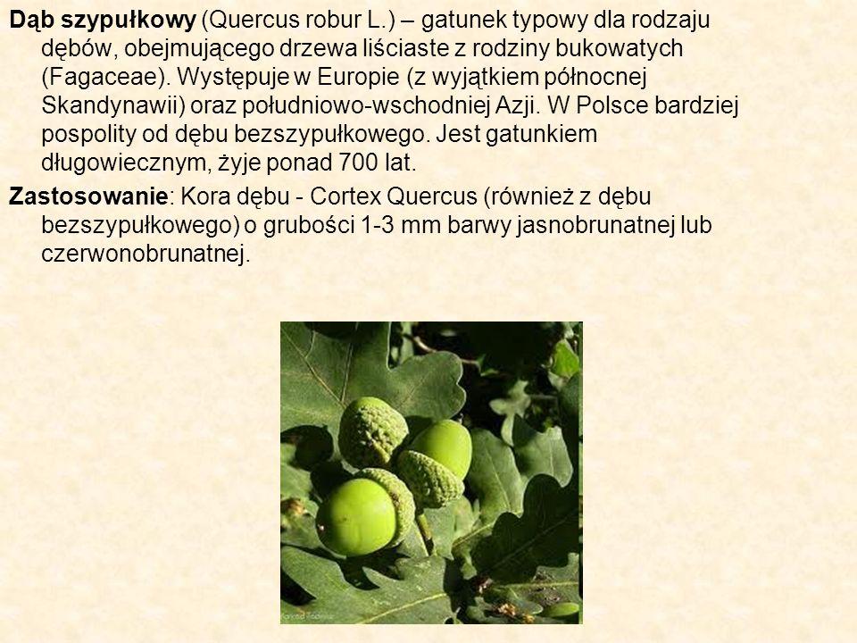 Dąb szypułkowy (Quercus robur L