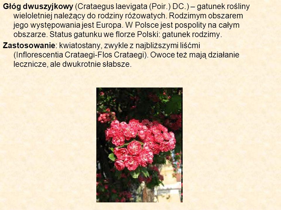 Głóg dwuszyjkowy (Crataegus laevigata (Poir. ) DC