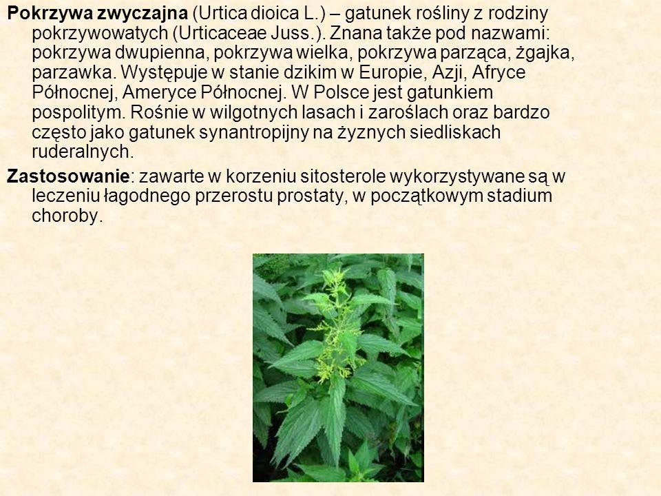 Pokrzywa zwyczajna (Urtica dioica L