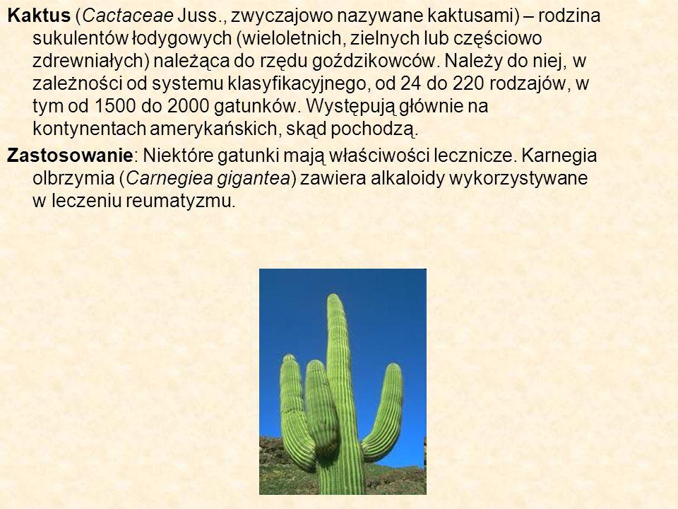 Kaktus (Cactaceae Juss
