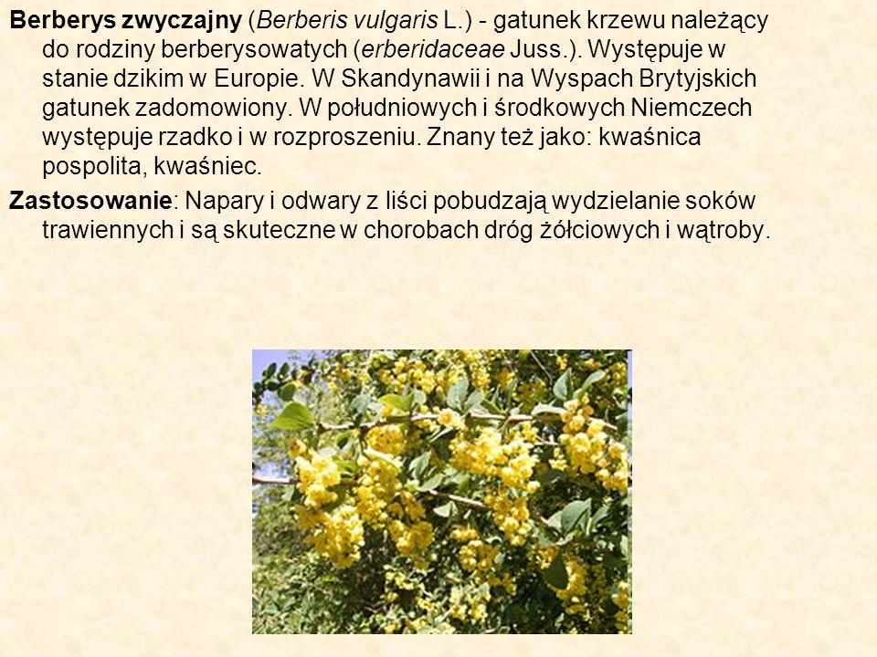 Berberys zwyczajny (Berberis vulgaris L