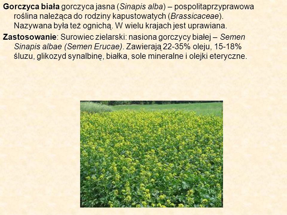 Gorczyca biała gorczyca jasna (Sinapis alba) – pospolitaprzyprawowa roślina należąca do rodziny kapustowatych (Brassicaceae). Nazywana była też ognichą. W wielu krajach jest uprawiana.