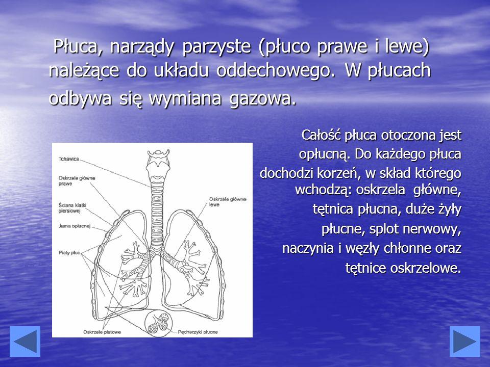 Całość płuca otoczona jest opłucną. Do każdego płuca