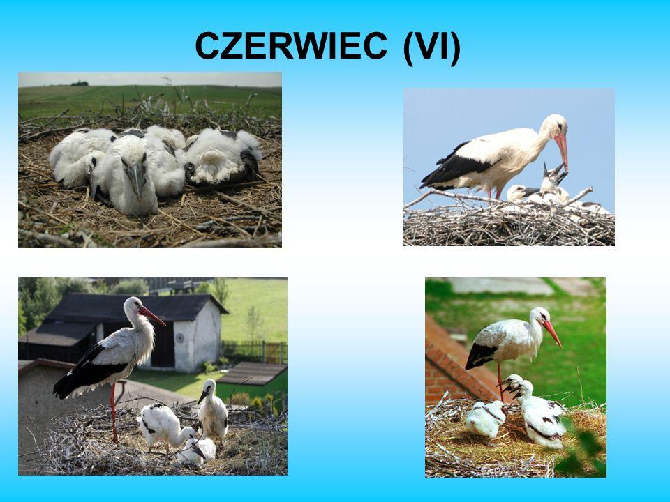 CZERWIEC (VI)