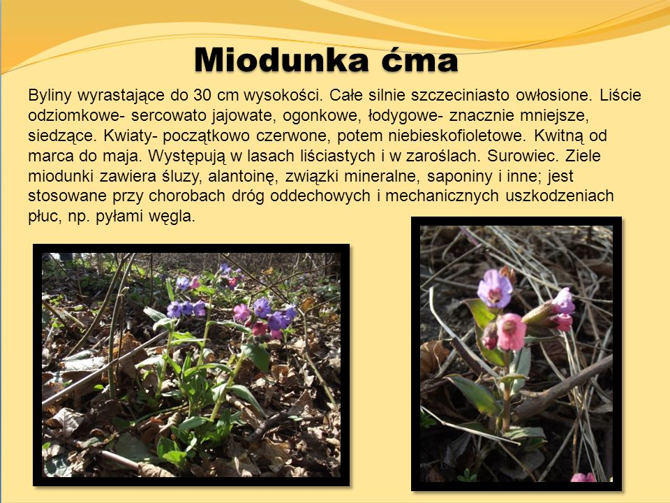 Miodunka ćma