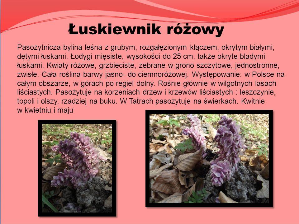 Łuskiewnik różowy