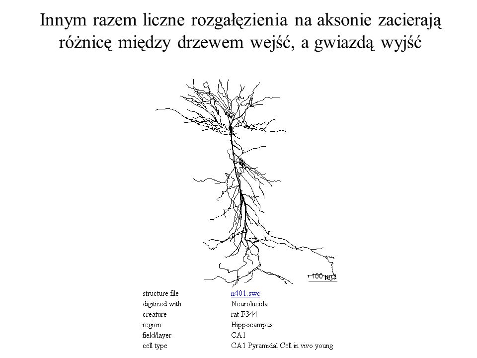 Innym razem liczne rozgałęzienia na aksonie zacierają różnicę między drzewem wejść, a gwiazdą wyjść