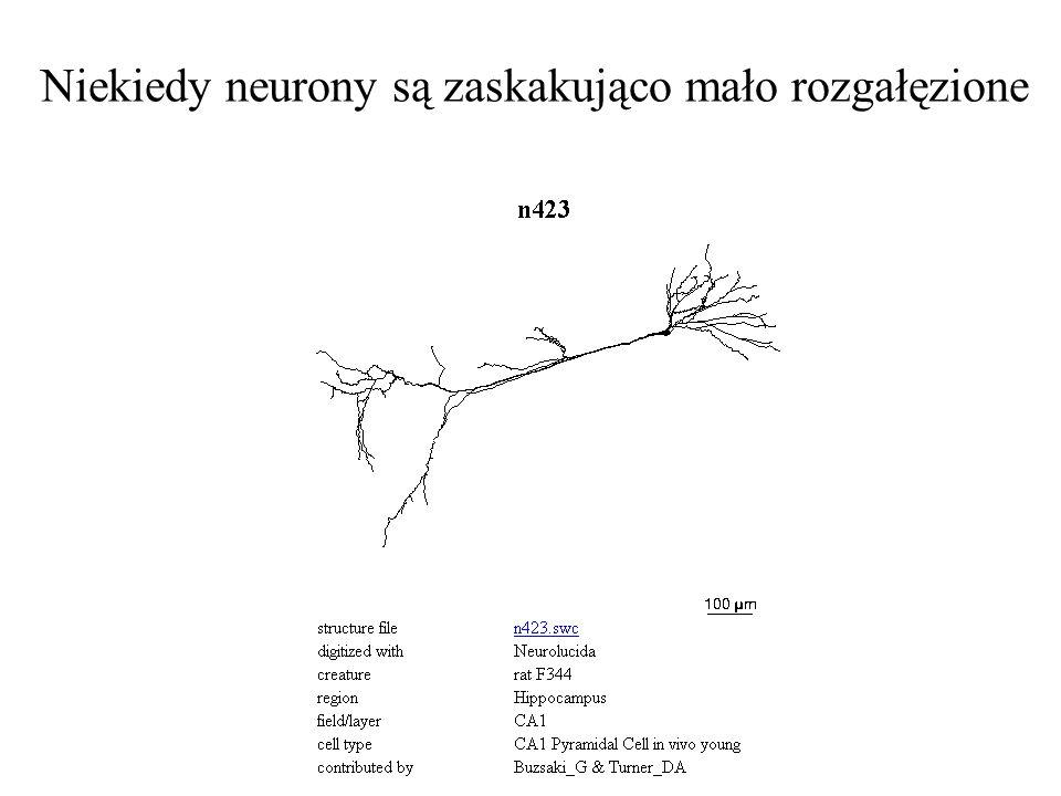 Niekiedy neurony są zaskakująco mało rozgałęzione