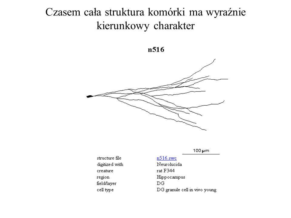 Czasem cała struktura komórki ma wyraźnie kierunkowy charakter