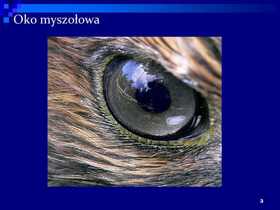 Oko myszołowa