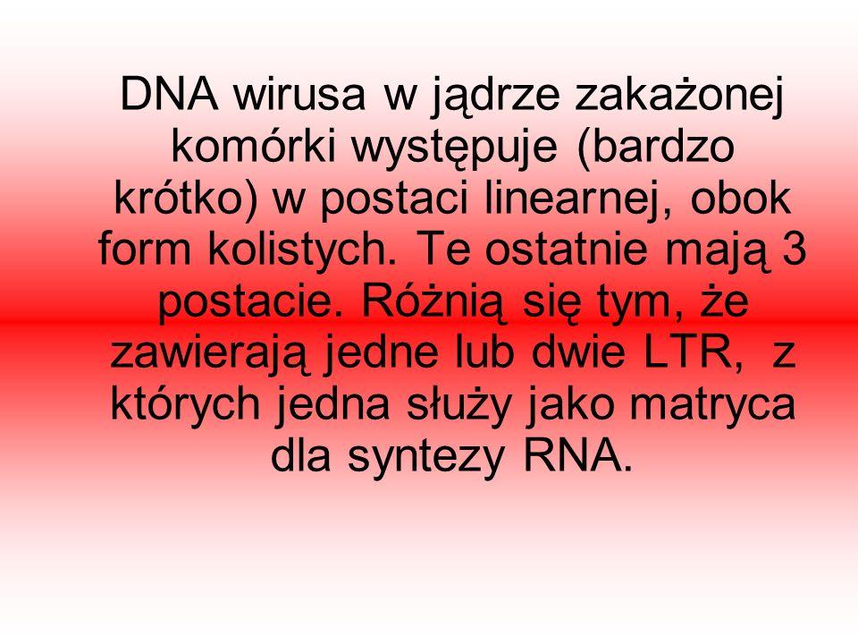 DNA wirusa w jądrze zakażonej komórki występuje (bardzo krótko) w postaci linearnej, obok form kolistych.
