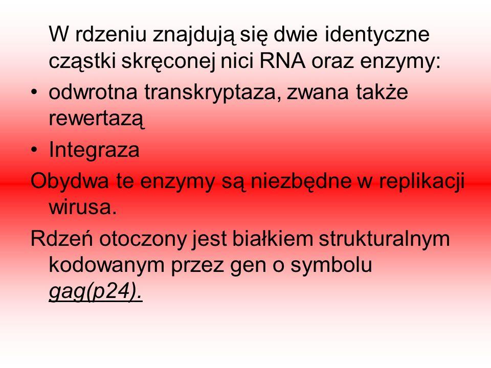 W rdzeniu znajdują się dwie identyczne cząstki skręconej nici RNA oraz enzymy: