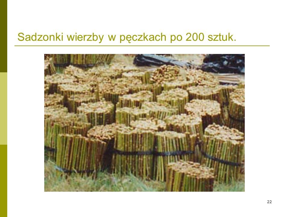 Sadzonki wierzby w pęczkach po 200 sztuk.