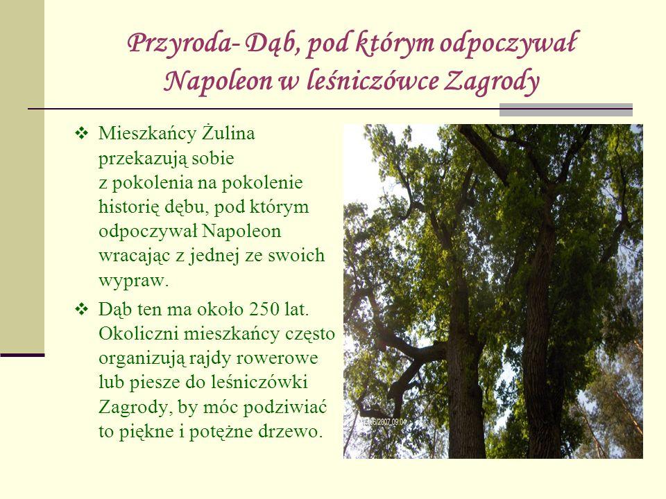 Przyroda- Dąb, pod którym odpoczywał Napoleon w leśniczówce Zagrody