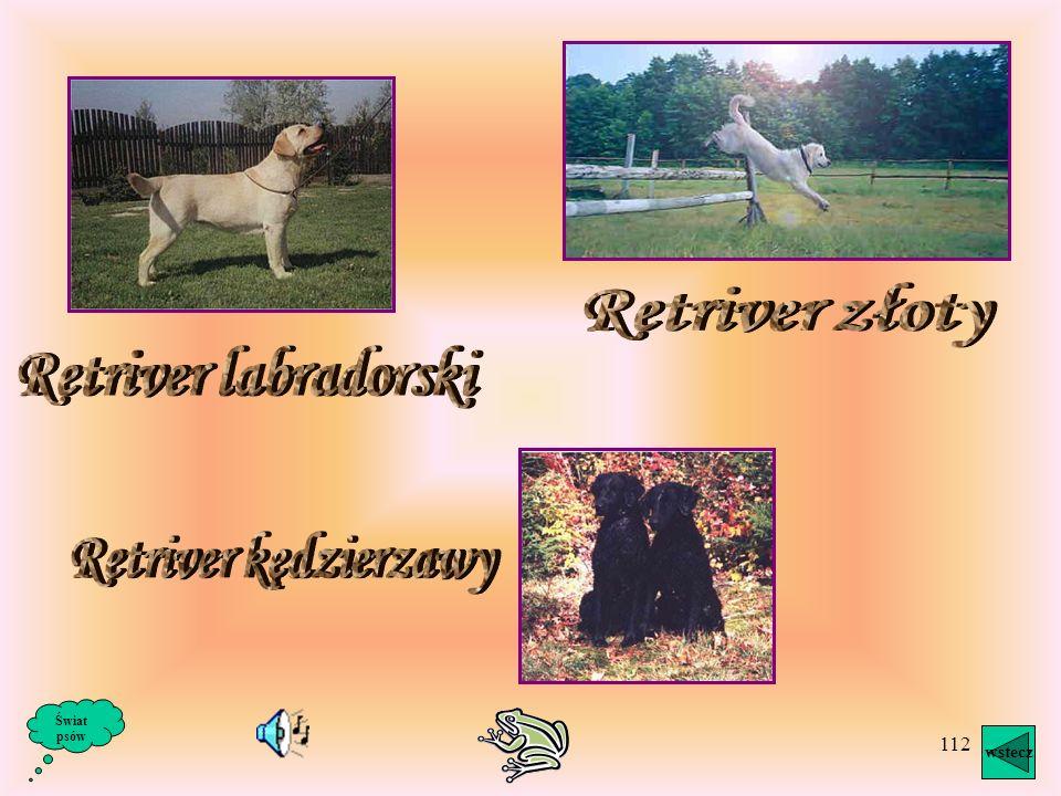Retriver złoty Retriver labradorski Retriver kędzierzawy