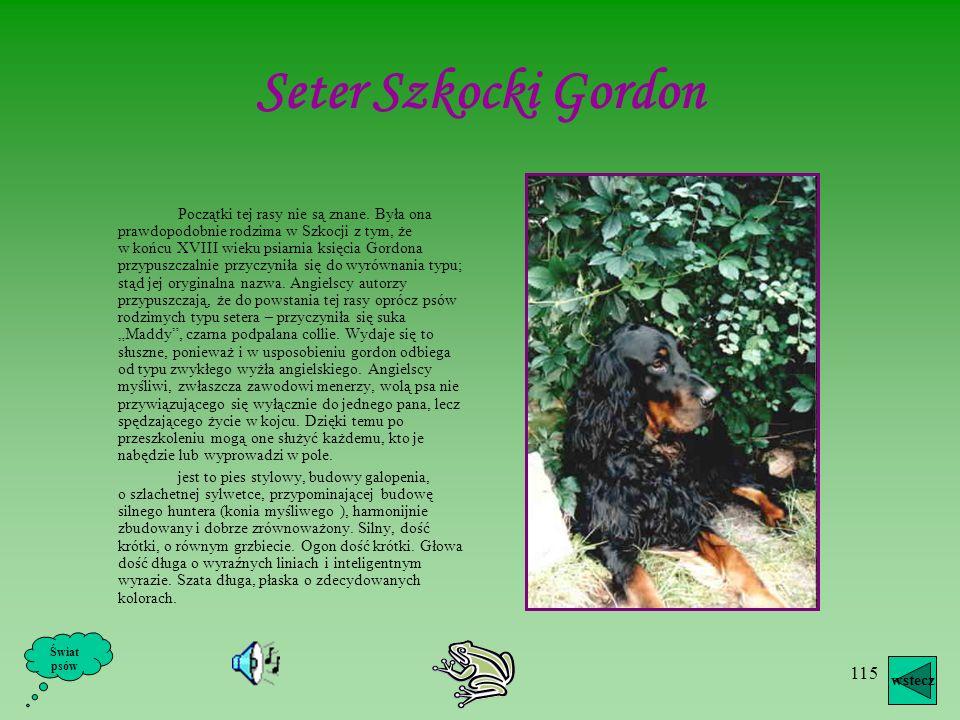 Seter Szkocki Gordon